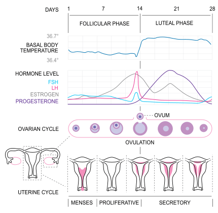 graphic relating to Bbt Chart Printable named Charting Basal Physique Climate For Ovulation Being pregnant